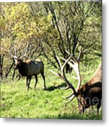 Grazing Elk  Metal Print by The Kepharts