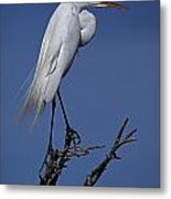 Great Egret, Casmerodius Albus, Perched Metal Print by John Cancalosi