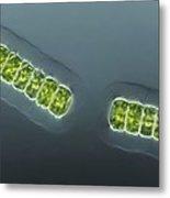 Green Algae, Light Micrograph Metal Print by Frank Fox