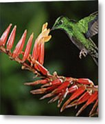 Green-crowned Brilliant Heliodoxa Metal Print by Michael & Patricia Fogden