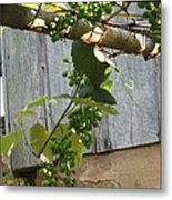 Green Grapes On Rusted Arbor Metal Print by Deb Martin-Webster