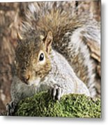 Grey Squirrel Metal Print by David Aubrey