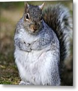 Grey Squirrel Sitting On The Ground Metal Print by Colin Varndell