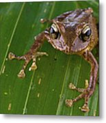 Ground Frog Nakanai Mts Papua New Guinea Metal Print by Piotr Naskrecki