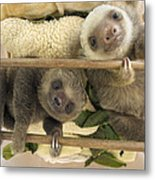 Hoffmanns Two-toed Sloth Orphaned Babies Metal Print by Suzi Eszterhas