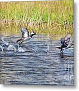 Hooded Mergansers Take Flight Metal Print by Lynda Dawson-Youngclaus