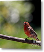 House Finch Bird . 40d7605 Metal Print by Wingsdomain Art and Photography