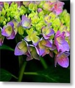 Hydrangea Beauty Metal Print by Valia Bradshaw