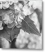 Hydrangeas In Black And White Metal Print by Stephanie Frey