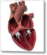 Internal Heart Anatomy, Artwork Metal Print by Claus Lunau