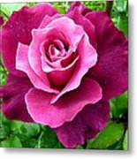 Intrigue Rose Metal Print by Will Borden