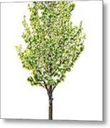 Isolated Flowering Pear Tree Metal Print by Elena Elisseeva