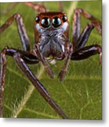 Jumping Spider Papua New Guinea Metal Print by Piotr Naskrecki