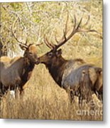 Junior Meets Bull Elk Metal Print by Robert Frederick