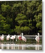 Juvenile And Adult Roseate Spoonbills Metal Print by Tim Laman