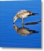 Juvenile Ring-billed Gull  Metal Print by Tony Beck