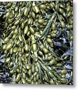 Knotted Wrack Seaweed Metal Print by Dr Keith Wheeler