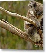 Koala At Work Metal Print by Bob Christopher