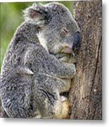 Koala Phascolarctos Cinereus Sleeping Metal Print by Pete Oxford