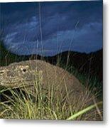 Komodo Dragon Varanus Komodoensis Metal Print by Cyril Ruoso