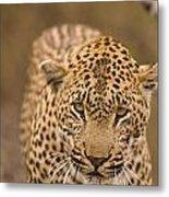 Leopard Panthera Pardus, Arathusa Metal Print by Stuart Westmorland