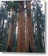 Looking Up At 3 Giant Sequoia Trees Metal Print by Stephen Sharnoff