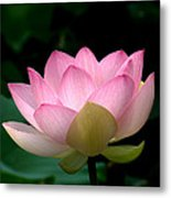 Lotus Beauty--blushing Dl003 Metal Print by Gerry Gantt