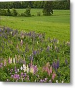 Lupines Grow In Front Of Hay Fields Metal Print by Taylor S. Kennedy