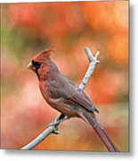 Male Northern Cardinal - D007810 Metal Print by Daniel Dempster