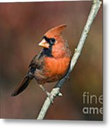 Male Northern Cardinal - D007813 Metal Print by Daniel Dempster