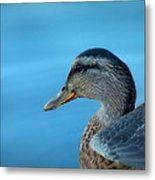 Mallard Hen Closeup Metal Print by Cindy Wright