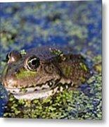 Marsh Frog Metal Print by Louise Murray