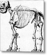 Mastodon Skeleton Drawing Metal Print by Science Source