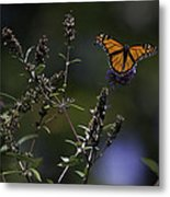 Monarch In Morning Light Metal Print by Rob Travis