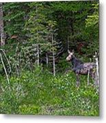 Moose3 Metal Print by Rich OConnor