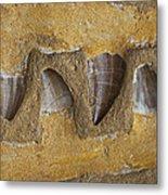 Mosasauras Teeth Metal Print by Garry Gay