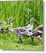 Mother Goose Leading Goslings Metal Print by Simon Bratt Photography LRPS