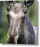 One Year Old Bull Moose With Growing Metal Print by Philippe Henry