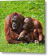 Orangutan Mother And Child Metal Print by Gabriela Insuratelu