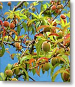 Organic Peach Tree, Metal Print by Pete Starman