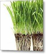 Organic Wheat Grass On White Metal Print by Sandra Cunningham
