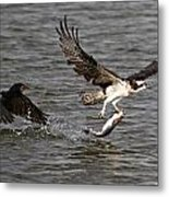 Osprey On The Run Metal Print by Paul Marto