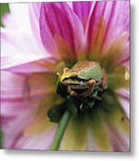 Pacific Treefrog On A Dahlia Flower Metal Print by David Nunuk