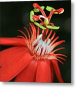 Passiflora Vitifolia - Scarlet Red Passion Flower Metal Print by Sharon Mau