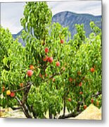 Peaches On Tree Metal Print by Elena Elisseeva