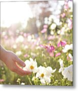 Pink And White Cosmos Flower Metal Print by Ajari