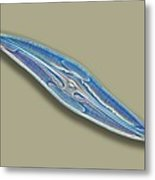 Pleurosigma Sp Diatom, Light Micrograph Metal Print by Frank Fox