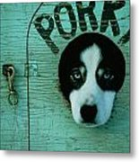Porky Is One Of Jan Masseks Race Dogs Metal Print by Chris Johns