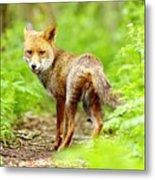 Portrait Of Fox Metal Print by Gary Chalker