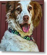 Portrait Of Springer Spaniel Dog Metal Print by Melinda Moore